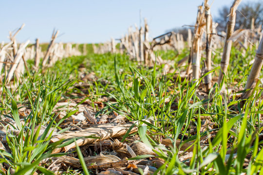 Looking down a row of corn stalks with a cereal rye cover crop.