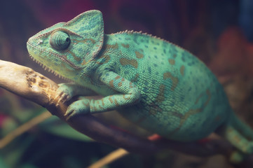 Bright blue spotted chameleon sitting on the branch. Veiled chameleon (Chamaeleo calyptratus) in terrarium. Close-up.