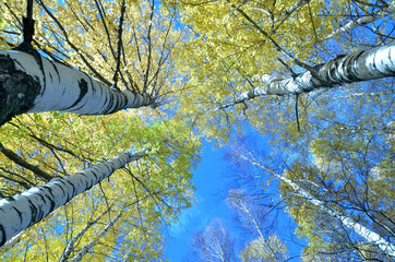 Tall birch trees in the forest under blue sky, bottom perspective view. Clear day in the forest in early autumn.