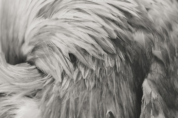 Feathers of a rooster as a background or backdrop. Black and white image Wall mural