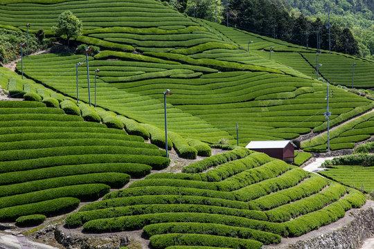 京都 和束の茶畑