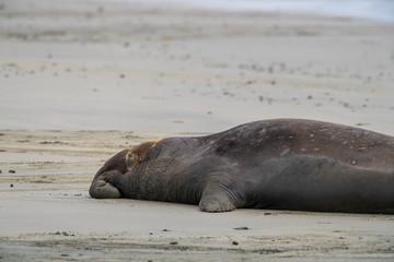 northern elephant seal (Mirounga angustirostris), Point Reyes National Seashore, Marin, California