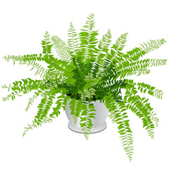 Indoor Fern Houseplant Isolated on White Background