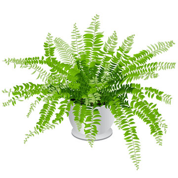 Indoor Fern Houseplant Isolated