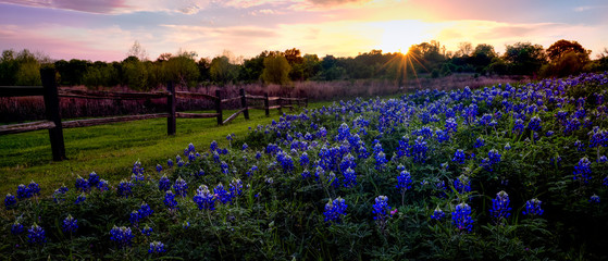 Photo Blinds Texas Texas Bluebonnets