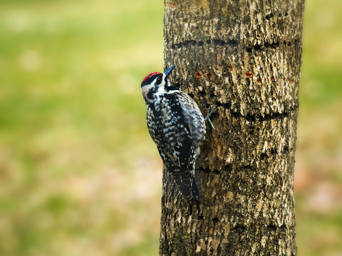 Yellow-bellied Sapsucker, Sphyrapicus varius, and holes that it drilled in tree trunk. The woodpeckers feed on the sap that accumulates in the holes. Close-up image with detail.