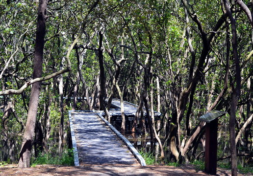 Wooden boardwalk on the water through Mangrove forest in Bicentennial park, Sydney, Australia. This footpath leads through the swamp with trees and sun rays