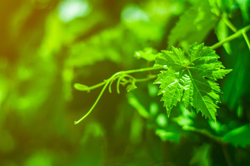 Fototapete - green grapes leaves in a vineyard.