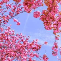 Foto auf AluDibond Rosa Beautiful sakura or cherry trees with pink flowers in spring against blue sky