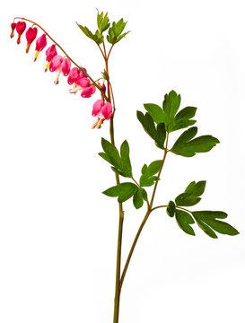 garden flower - Lamprocapnos spectabilis - bleeding heart isolated on a white background