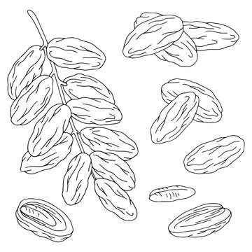 Date fruit graphic set black white isolated sketch illustration vector