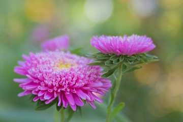 Dahlia violet picture background dreamy bokeh
