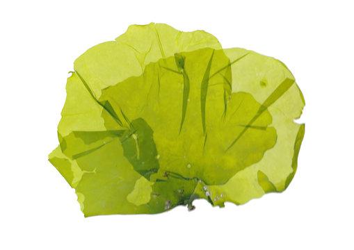 Pressed beautiful Ulva green algae seaweed
