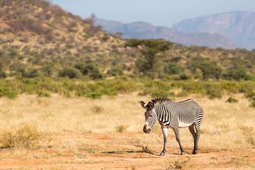 A Grevy Zebra is grazing in the countryside of Samburu in Kenya