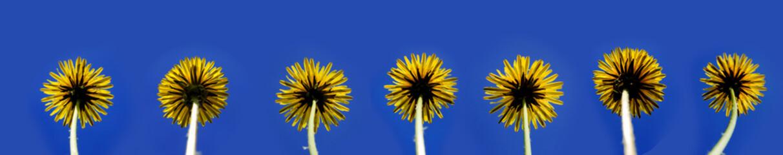 horizontal image of dandelion flowers on blue background