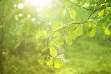 Wiosnenne gałązki leszczyny ze świeżymi zielonymi listkami w rozbłyskiem słońca i promieniami