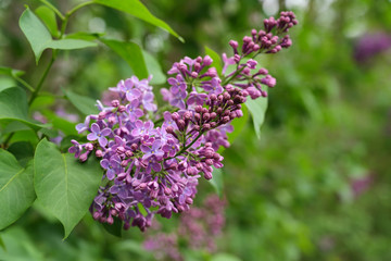 Blooming purple lilac or syringa  vulgaris branch in springtime, copy space, selected focus, narrow depth of field