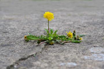 Photo sur Aluminium Pissenlit single dandelion flower breaks its way through the concrete, concept power of nature, copy space