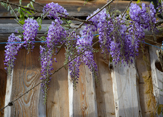 flowers of wisteria, a climbing plant of the legume family on a wooden facade, copy space