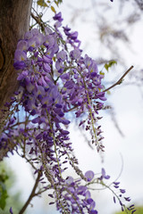 flowers of wisteria, a climbing plant of the legume family on a pergola, copy space