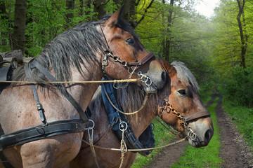 zwei Arbeitspferde im Wald