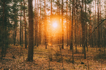 Beautiful Sunset Sun Sunshine In Sunny Coniferous Forest. Sunlight Sun Rays Shine Through Pine Woods In Forest Landscape