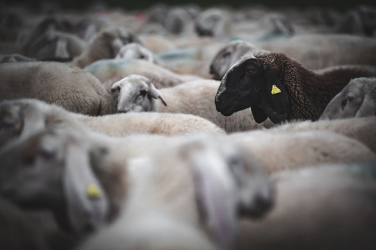 black sheep in the middle of the flock