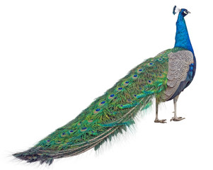 Beautiful Peacock Isolated On White