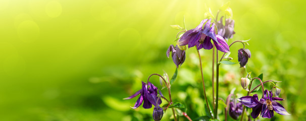 Columbine flowers isolated on green background. Summer garden.