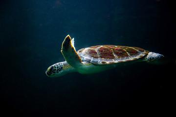Photo sur Aluminium Tortue swimming turtle in dark ocean water sea