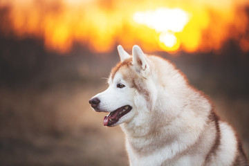 Beautiful and gorgeous Siberian Husky dog sitting in the forest at sunset in spring