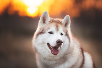 Beautiful and free Siberian Husky dog sitting in the forest at sunset in spring