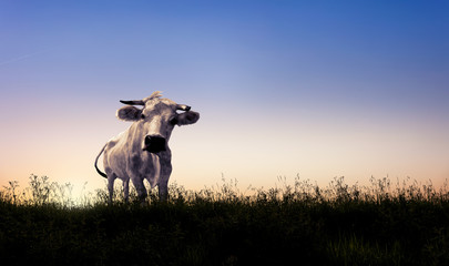 White cow on the grass at sunset