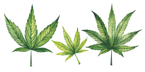 Watercolor illustration. Marijuana leaves on a white background.