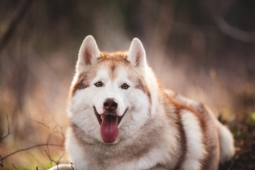 Beautiful and free Siberian Husky dog lying in the forest at sunset in spring