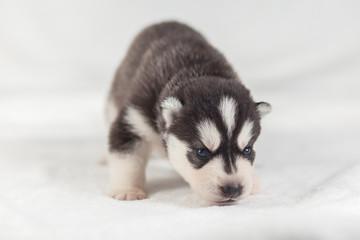 cute Siberian Husky Puppy alone