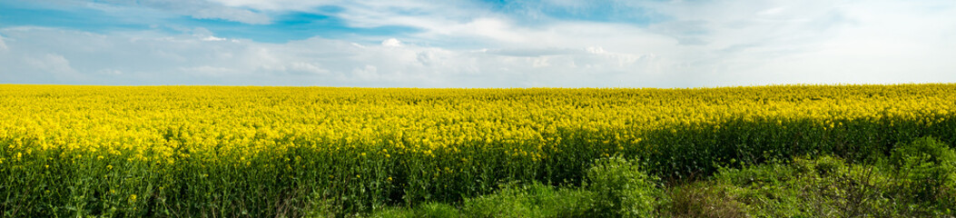 rape field and blue sky with clouds