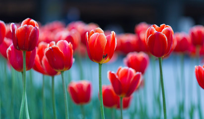 Foto op Plexiglas Tulp Group of red tulips in the park. Spring landscape