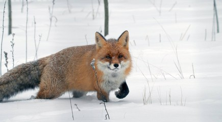 Red fox in winter in the forest.