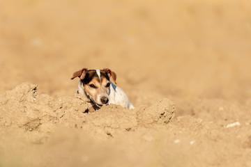 12 years old Jack Russell Terrier dog hiding behind a sand hill. He has fun