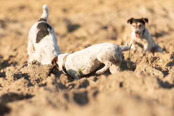 Two  little dogs are digging  hole - Jack Russell Terrier. Hounds are  4  and 12 years old
