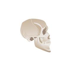White skull profile - side view of bones in human head