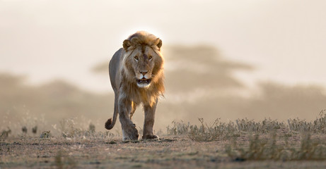 Foto auf Leinwand Löwe Male lion walking if african landscape