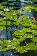 Waterlillys on a pond with reflection