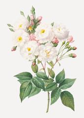 Flowering rosebush