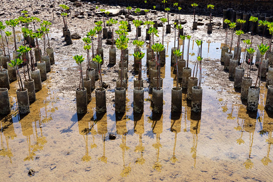 Young mangrove trees for reforestation at shore in Chonburi, Thailand