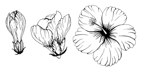 Contour hibiscus set flower and buds decorative monochrome vector illustration. Chinese rose silhouette floral tropic botany.