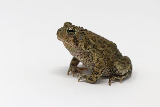 Dwarf American Toad (Anaxyrus americanus charlesmithi