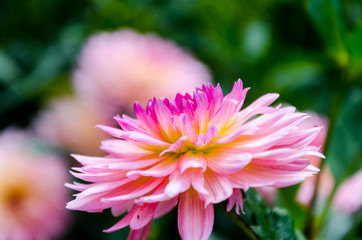 Blurred picture of pink flower in the garden