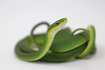 Rough Green Snake (Opheodrys aestivus) Wall mural